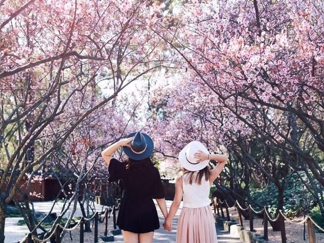 Mùa xuân ngắm hoa anh đào ở Đà Lạt