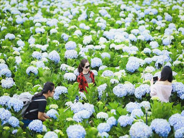 Du lịch Đà Lạt ngắm hoa Cẩm Tú Cầu