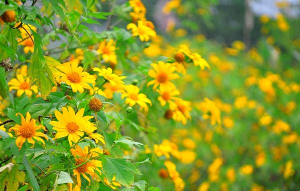 Vẻ đẹp hoa dã quỳ lúc sang thu