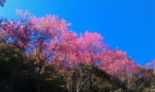 Vẻ đẹp của hoa dày tớ mỗi khi Xuân về trên Mù Căng Chải
