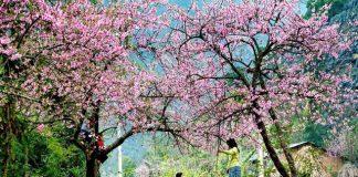 Du lịch mùa xuân ở sapa