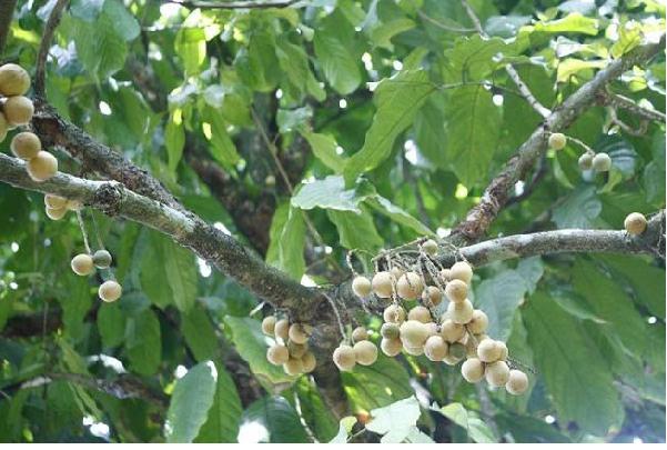 Làng Đại Bình vườn trái cây nam bộ trong lòng xứ quảng