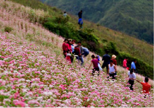 Ngắm hoa tam giác mạch mùa thu ở Hà Giang