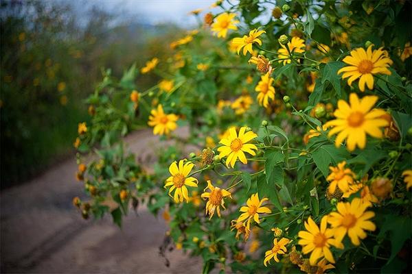 Ngắm hoa dã quỳ Đà Lạt điểm du lịch tháng 10 thú vị nhất