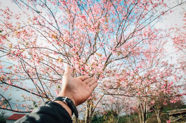 Du xuân Tây Nguyên chiêm ngưỡng vẻ đẹp thơ mộng của hoa Mai anh đào