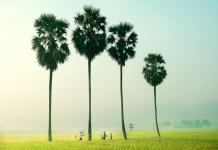 Cây thốt nốt An Giang biểu tượng vùng đất bao la, phóng khoáng