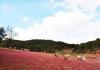 Đồi cỏ hồng Đà Lạt mộng mơ độ thu về