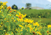 Phượt Vườn quốc gia ba vì ngắm hoa dã quỳ