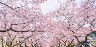 Đến Nhật Bản ngắm hoa anh đào