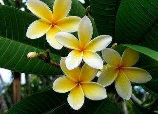 Hoa đẹp không nên rước vào nhà: Hoa đại