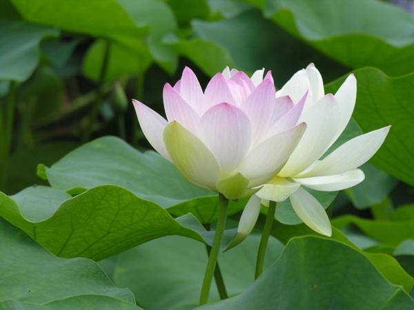 Mơ thấy hoa sen mang đến điềm báo lành hay dữ?